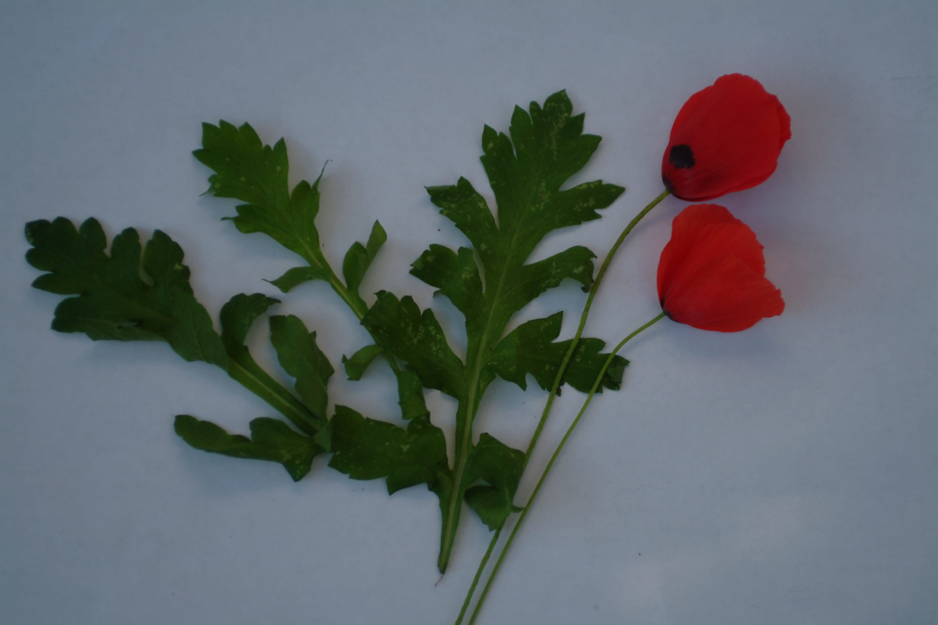 Horta lessons skopelosnews these are the leaves of a poppy the plant is widely grown in warm temperate and tropical climatese plant has a smooth texture with slightly branched mightylinksfo Choice Image