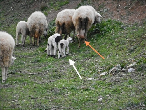 white arrow points to the lamb - the orange to Mom's udder