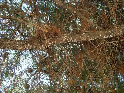 Marchallina infestation outside Athens, courtesy Diomidis Spinellis/Wiki Commons
