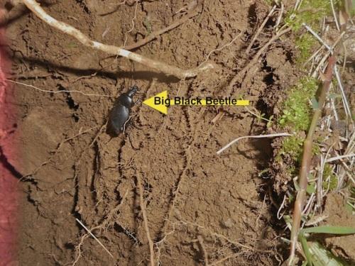 Big Black Beetle