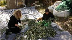 olives day 2 7