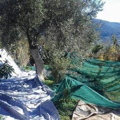 olives land