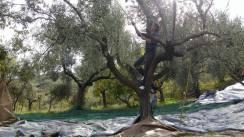 olives-day-2-1